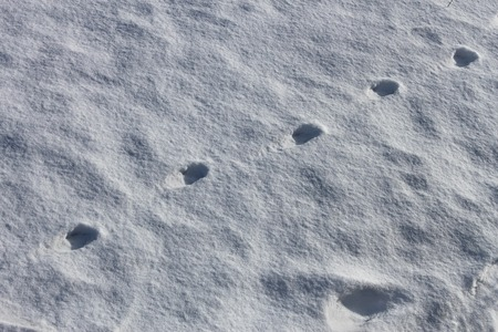 winter weather: Animals imprint on the snowy surface in sunny winter weather Stock Photo