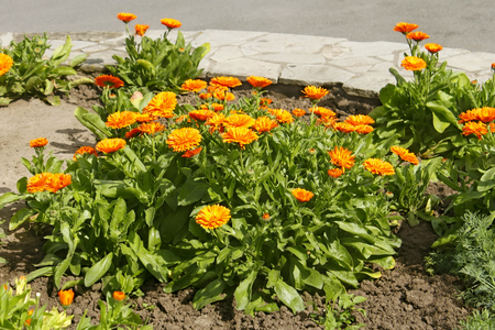 carotenoid: Pot Marigold (Calendula officinalis) flowering on flowerbed in early summer