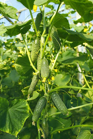 hotbed: Many cucumbers growing on hanging stalk in greenhouse, close-up