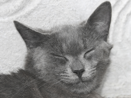 lacerate: Gray British cat with closed eyes on a fuzzy wall background