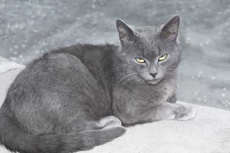 lacerate: Gray British cat lying on a concrete surface Stock Photo