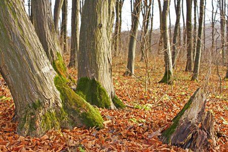 copse: Trunks of old hornbeam trees in copse in the late autumn
