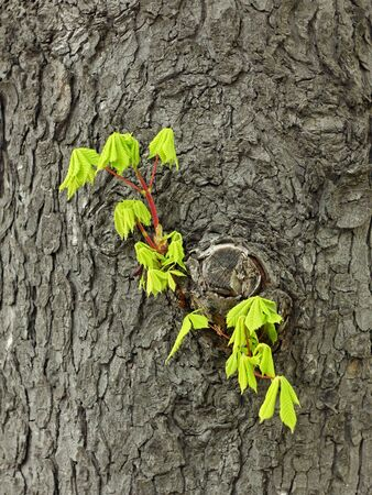 Fragile young twig of chestnut with green leaves grows on the old trunk in springtime Stock Photo