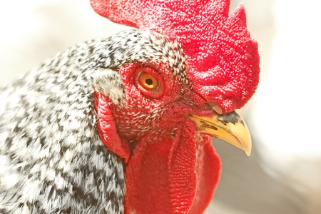 Portrait of an adult speckled rooster in bright sunlight Stock Photo
