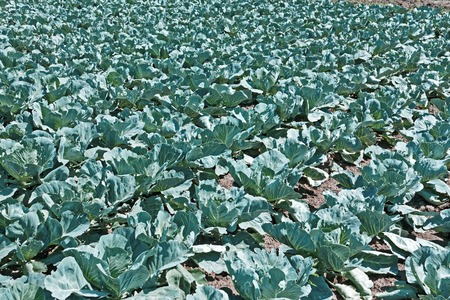 Cabbage plants growing in soil in bright sunlight