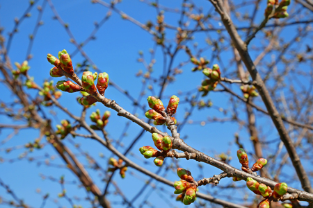 Cherry twig with buds before blooming against the blue cloudless sky in springtime