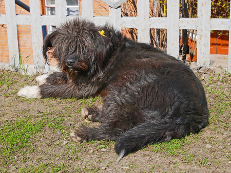 sterilized: Castrated shaggy rambling dog labeled with yellow label in the ear, cute animal lying outdoors under fence in sunny spring weather
