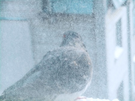 residential idyll: Dove sitting on a windowsill in sunny winter weather, look through a pane of glass with frozen hoarfrost
