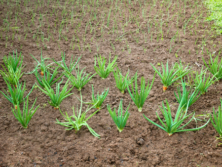Onion rows in the garden planted for seed production and also for green leaves Stock Photo