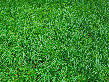 Dense inclined young green grass in spring as a background
