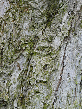 Cracked bark of an old apple tree, vertical photo, close-up