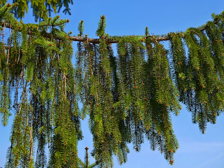 Big branch of old Fir on the blue sky background in springtime, close-up