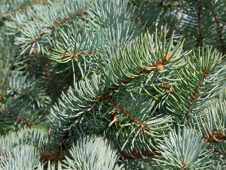 Blue fir needles in bright sunlight as a texture, close-up