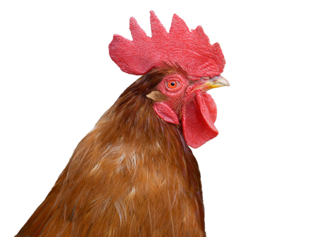 Red rooster portrait over white background, close-up Stock Photo