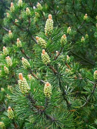 Pine tree with new pollen cone in springtime