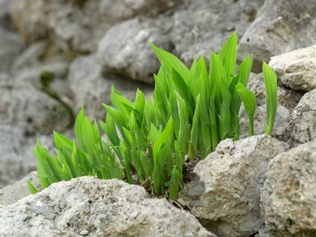 Green plants grown among big grey stones in April, close-up Stock Photo