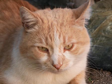 Mature big reddish cat portrait outdoors, close-up