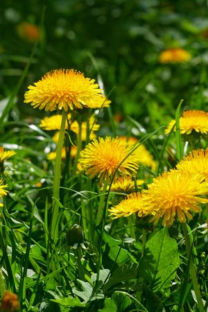Flowering of Dandelion (taraxacum officinale) in bright sunlight, close-up