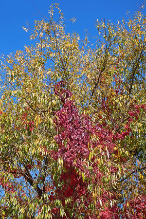 Virginia Creeper (Parthenocissus Quinquefolia) plant with bright red leaves on the willow tree in autumn season Stock Photo
