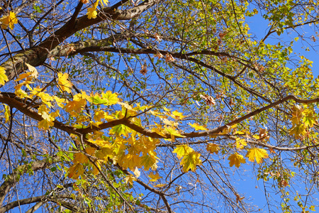 Maple tree with yellow leaves on the background of cloudless blue sky in lovely autumn day with bright sunlight