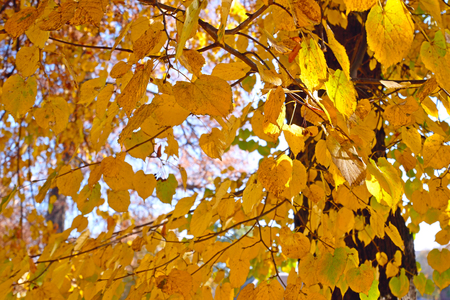 Linden tree with yellow leaves in lovely autumn day as a background