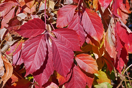 Bright red leaves of five-leaved Virginia Creeper (Parthenocissus Quinquefolia) in autumn season, close-up