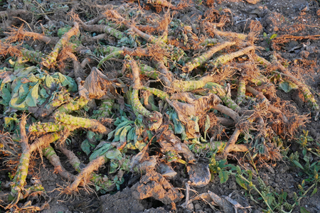 Crop waste heap of white cabbage torn root on the ground after harvest gathering in the beams of setting sun Stock Photo