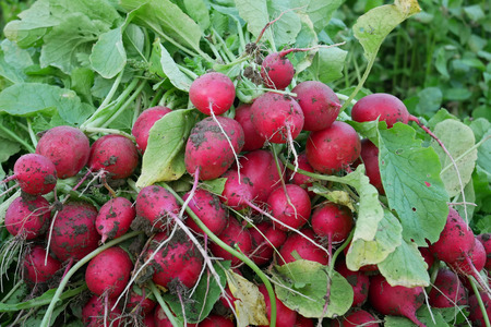 Heap of fresh red radish roots in the garden during harvest outdoor, close-up Stock Photo