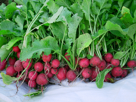 Heap of fresh red radish roots in the garden during harvest outdoors on white cloth, close-up Stock Photo