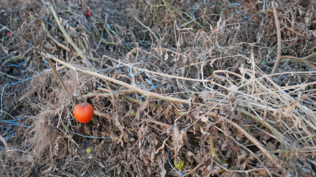 Dried spoiled tomato plants after harvesting with damage of fruits and tying yarns in autumn season