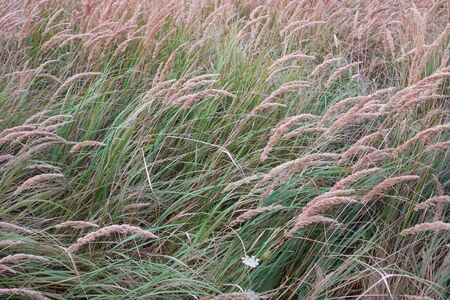 Natural background with flowering long grass on the meadow in summertime windy weather Banco de Imagens