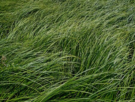 Sedge in summer, thick overgrown of tilted young green grass in meadow as background, close-up