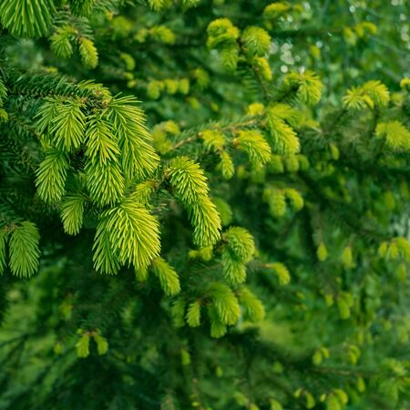 New tender fir twigs with bright green needles in springtime as a texture, close-up