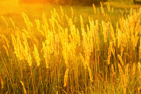 High meadow grass in the bright backlighting of setting sun as a texture