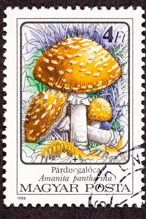 Hungarian Postage Stamp Amanita pantherina Panther Cap Mushroom In Wild photo