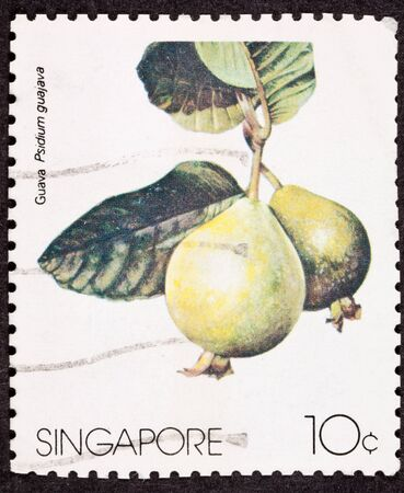 philatelic: Closup of guava (Psidium guajava) on hanging from a branch of a guava tree.  Isolated Background