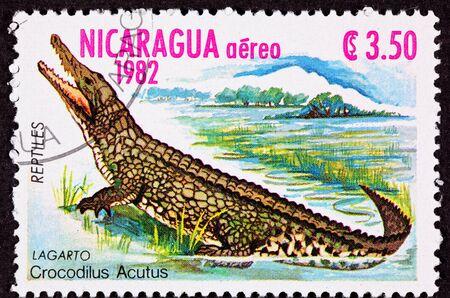 습지에있는 악어 Crocodilus Acutus 스톡 콘텐츠