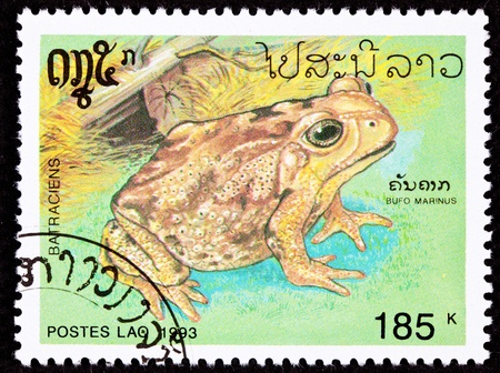 Invasive Cane Toad, Bufo Marinus, also known as Marine Toad.  Has been introduced to many tropical habitats to control local pests.  The resulting infestation of toads has resulted in many beneficial species also being curtailed by the toads. Stock Photo