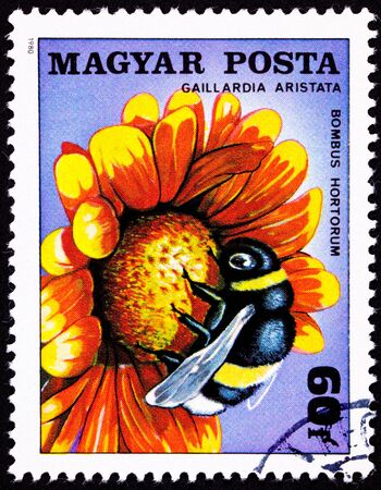 pollinate: Garden bumblebee, Bombus hortorum, on Common Blanketflower, Gaillardia Aristata.