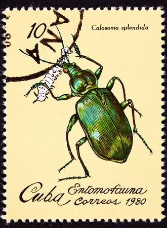 borer: Tree Borer Insect Pintheocoelium Columbinum.