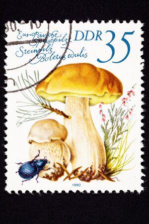 Edible Porcini mushroom, Boletus edulis.  Also known as CepCepe. photo