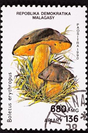 Dotted Stem Bolete, Boletus Erythropus.  Recently suggested to be renamed Boletus luridiformis Stock Photo - 9010688