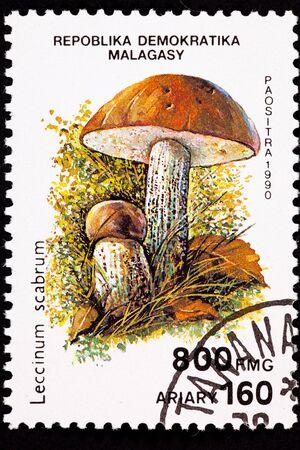 Edible Birch Bolete mushroom Leccinum scabrum.  Formerly known as Boletus Scaber and Scaber Stalk.
