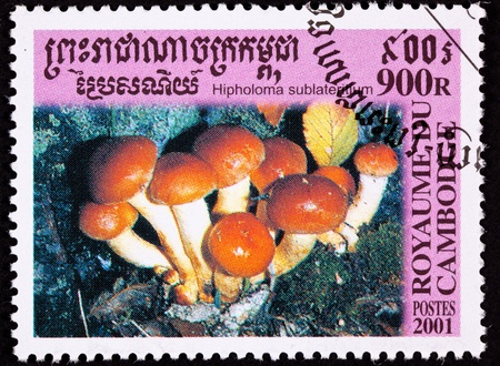 Brick Cap Mushroom, Hypholoma sublateritium. Reported to be edible in the U.S. but not Europe photo