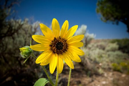 new day: Sunflower in the New Mexico desert, probably Helianthus laetiflorus the Showy Sunflower. Stock Photo