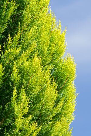 arborvitae: Part of a colorful Arborvitae evergreen shrub against a blue sky.