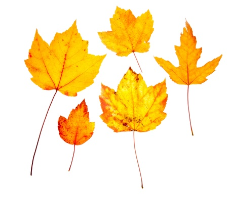 Group of yellow maple and oak leaves.  Isolated on a white background. photo