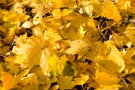 norway maple: Close up of yellow Norway Maple autumn leaves fallen to the ground. Stock Photo
