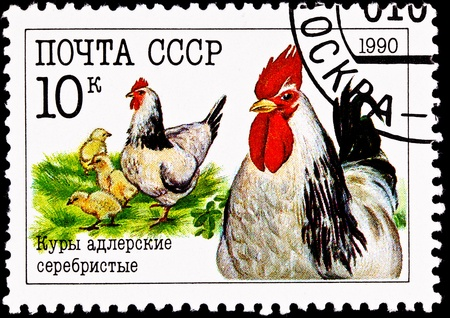 chick: USSR- CIRCA 1990:  A stamp printed in the USSR shows a group of chickens, rooster, hen and chicks, circa 1990.