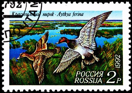 franked: RUSSIA - CIRCA 1992:  A stamp printed in Russia shows a pair of Common Pochard ducks, Aythya ferina, flying over marsh, circa 1992.